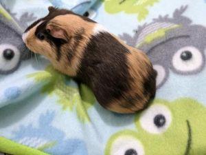 Ozzie Guinea Pig Small & Furry