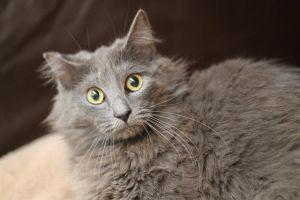 MAGGIE Domestic Long Hair Cat