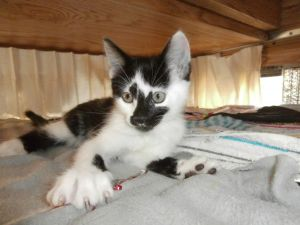 Bruiser Domestic Short Hair Cat