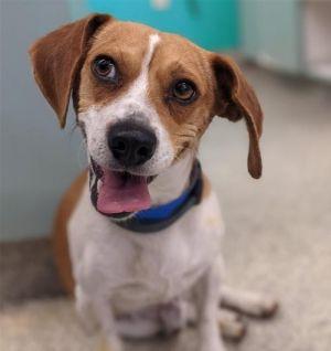 I1350980 Beagle Dog