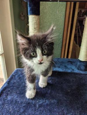 Poe Domestic Long Hair Cat