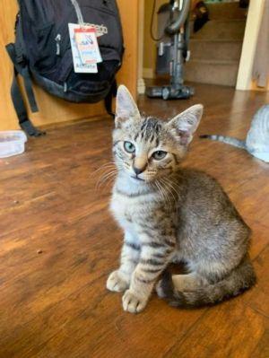 Mouse Domestic Short Hair Cat