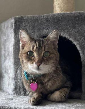 Penny Domestic Short Hair Cat