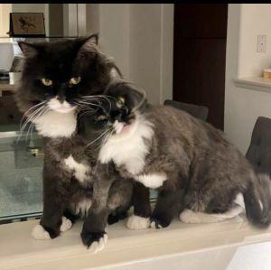Mishka (Father) Luna (Daughter) *Bonded Pair Tuxedo Cat