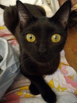Black Beauty Domestic Short Hair Cat