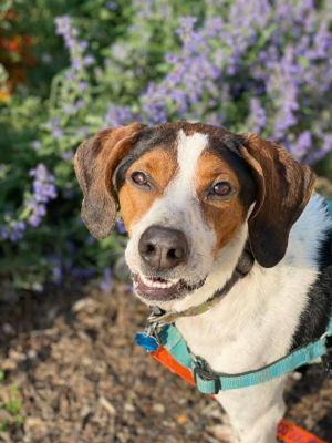 Betty Treeing Walker Coonhound Dog