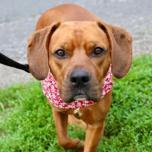 Cooper is a 2 yr Bogle beagleboxer fully vetted crate and house trained Hes about 45lbs and do