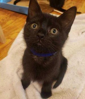 Luna Domestic Short Hair Cat