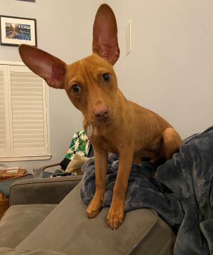 Say Hello to LAKE Just look at those adorable ears Red Collar Rescue got a phone call from a pol