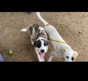 Allegra Shepherd Dog