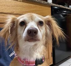 Trixie (TX) Shih Tzu Dog