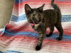 Chevelle Domestic Short Hair Cat