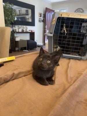 Pinot (ao) Domestic Medium Hair Cat