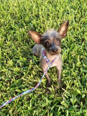 You can fill out an adoption application online on our official websiteMinnie TX is a female Chiw