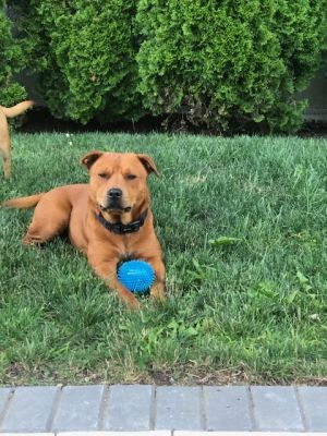 Meet Ray Raymond one of the SWEETEST dogs ever Ray is 2 years young house and crate trained up