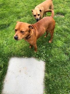 Red (Raymond) Labrador Retriever Dog