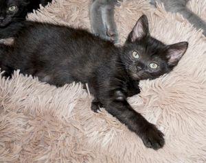 Tuk Tuk and Boun (bonded pair) (cf) Domestic Short Hair Cat