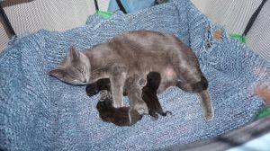 Boun and Tuk Tuk (bonded pair) (cf) Russian Blue Cat