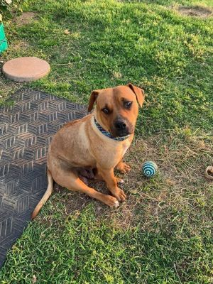 Hi my name is Ginger I am a 60 pound 3 year old PB Terrier mix I am housebroken crate