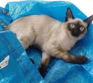 Leo and Lilly Siamese Cat