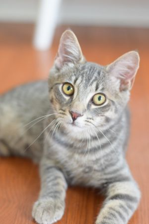 Hi My name is Nigel everyone says Im the sweetest most lovable kitten ever Im hoping to go to a