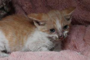 COSMIC Domestic Short Hair Cat