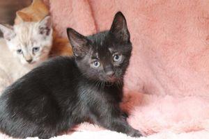 RASCAL Domestic Short Hair Cat