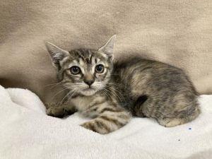 CINNAMON Domestic Medium Hair Cat