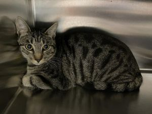 RICK GRIMES Domestic Short Hair Cat