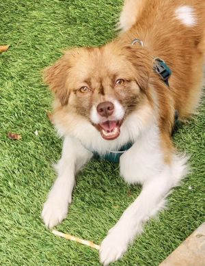 Sophie Tibetan Spaniel Dog
