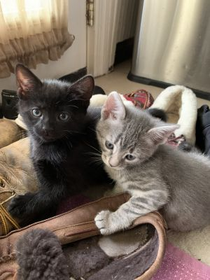Meet Mia grey tabby and her sister Serafina black These 7 week old sisters are looking for thei