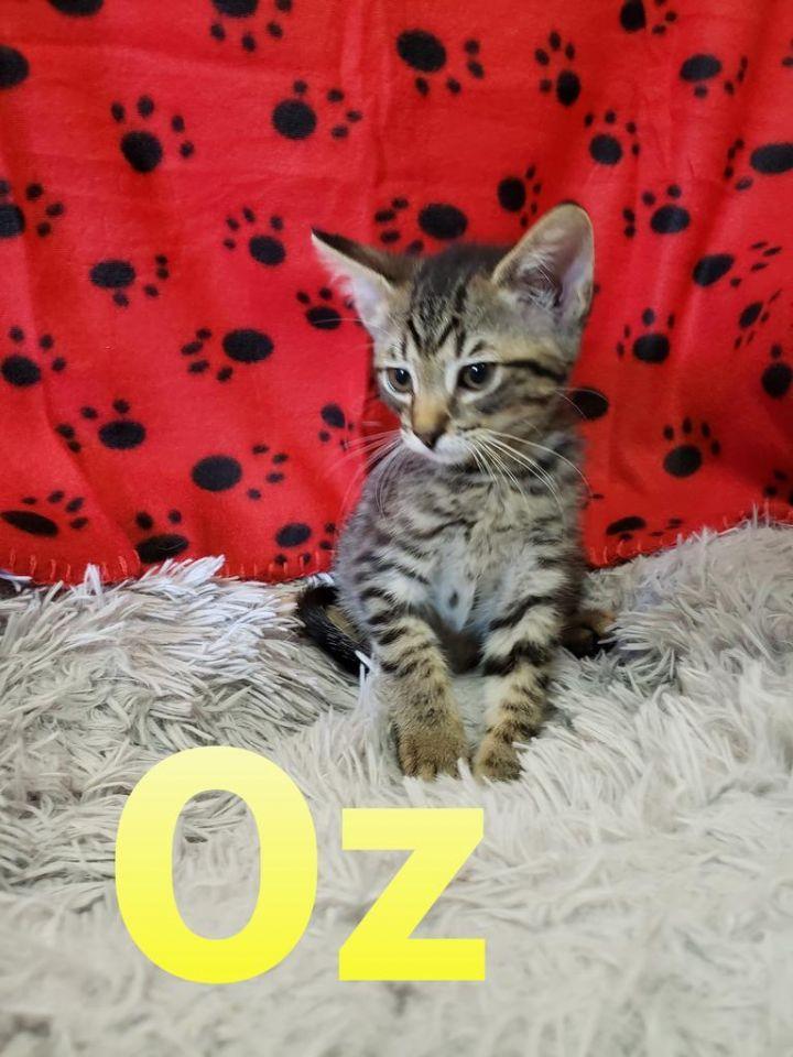 Oz, an adoptable Tabby in Murphysboro, IL_image-1