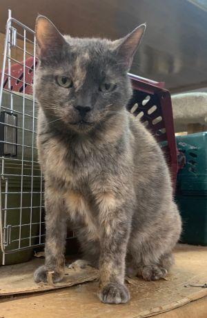 Cleo Domestic Short Hair Cat