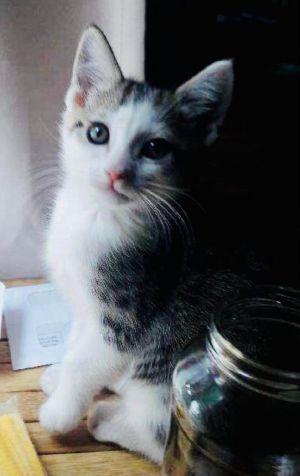 Fairfax Domestic Short Hair Cat