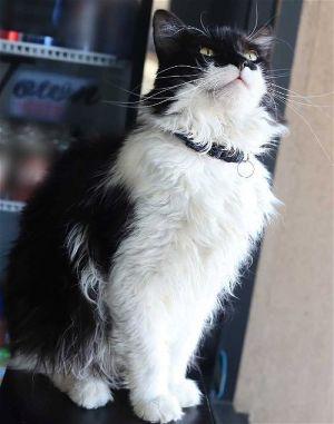 Mungo Tuxedo Cat