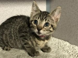 I1349470 Domestic Short Hair Cat