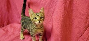 I1348708 Domestic Short Hair Cat