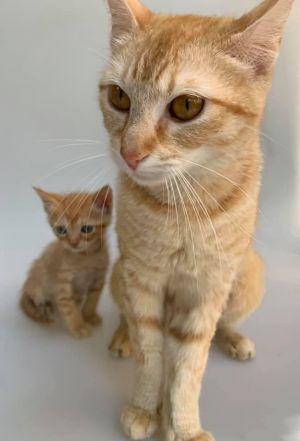 Roxy (ao) Tabby Cat