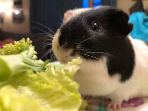 Phantom is a large piggie and is extremely friendly He comes to greet his foster family and chirps