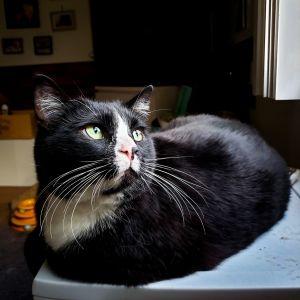 Bootsie Domestic Short Hair Cat