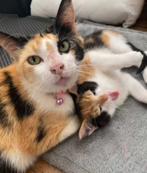 Poppy and Paisley Calico Cat