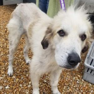 Scruffy is a five-year-old male weighing 80 lbs He is new to us but very sweet We are working har
