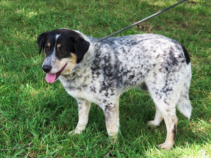 Bo, an adoptable Australian Shepherd Mix in Lexington, VA_image-1