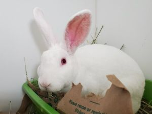 A volunteer writes Axel is a small white Rex mix This little guy is as quiet and sweet and gentle