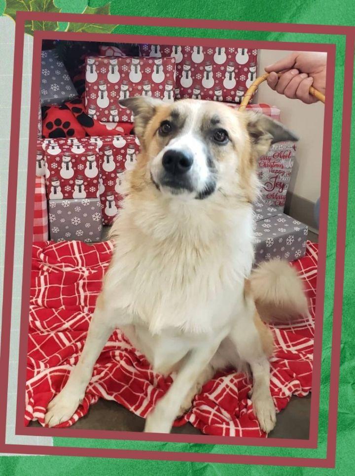AJ, an adoptable Collie & Anatolian Shepherd Mix in Murphysboro, IL_image-1