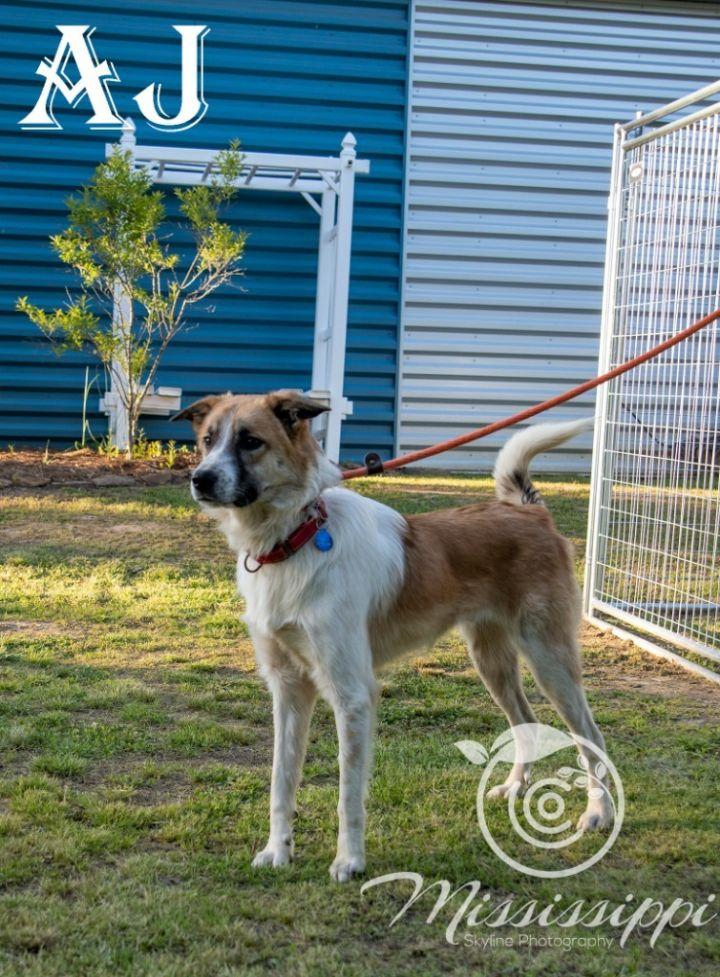 AJ, an adoptable Collie & Anatolian Shepherd Mix in Murphysboro, IL_image-4