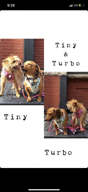 Meet Turbo 4 yo Dachsund male  Tiny 8 yo Terrier Mix female These pups have been doing well