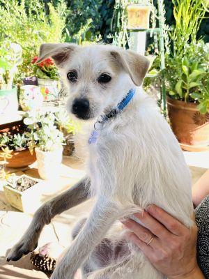 Dwight Miniature Schnauzer Dog