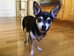 Chester is an adorable 7lb blackwhitetan chihuahua who loves his walks being outside and basking