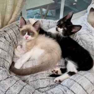 Wabi and Tofu Snowshoe Cat